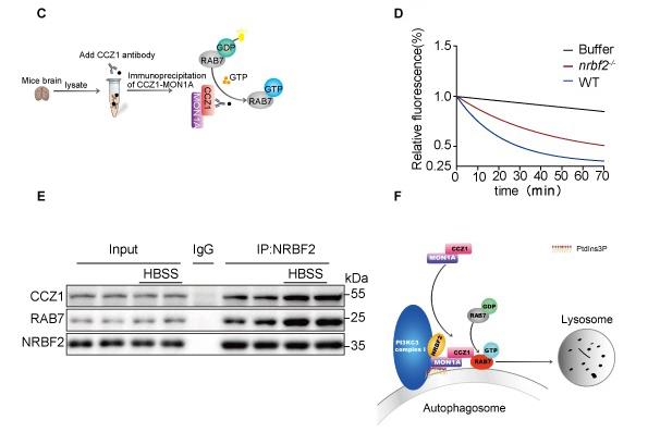 The latest research reveals the molecular mechanism of autophagy genes regulating Alzheimer's disease